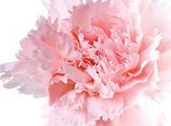 一枝淡香的粉红康乃馨图片