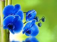 蓝色蝴蝶兰图片素材