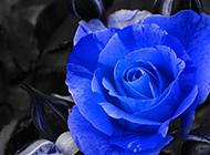 一枝蓝色玫瑰花摄影图片