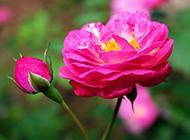 唯美蔷薇花图片灿烂芬芳