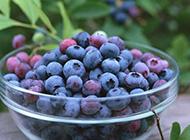 营养成分极高的蓝莓图片