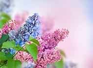 美丽动人的丁香花图片