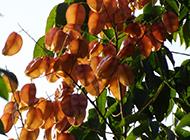 台湾栾树图片挺拔茂盛