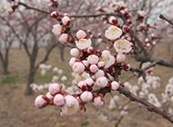 含苞欲放的粉红桃花图片