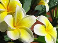 鸡蛋花鲜艳欲滴精美特写图片
