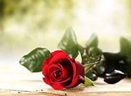 鲜艳夺目的玫瑰花唯美图片