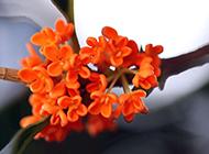 清香桂花唯美近距桌面壁纸