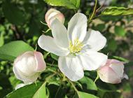 山海棠花图片洁白优雅