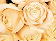 黄色玫瑰花图片素材清新怡人