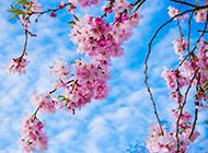 蓝色天空下的浪漫樱花意境图