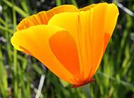 美丽异常的黄色罂粟花图片