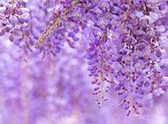 紫藤花高清宽屏壁纸