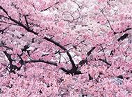 日本樱花春日优美风景图片