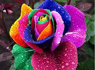 超绚的彩色玫瑰花摄影高清图