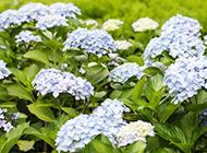淡蓝色绣球花图片令人悦目怡神