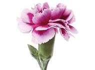 康乃馨花图片俏丽清雅