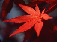 一片唯美红枫叶图片