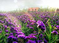 紫色勿忘我花唯美鲜花背景图片