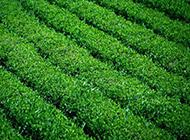 山茶科植物图片清新绿色背景