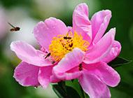 芍药花艳丽花瓣图片