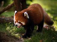 超可爱小熊猫精美桌面壁纸