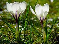草本植物正宗藏红花图片欣赏