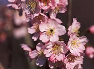 争芳斗艳的粉红色桃花特写图片