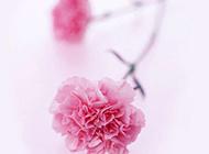 粉色唯美康乃馨图片