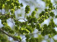 青皮榆树图片葱绿繁茂