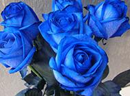 珍贵的蓝色玫瑰花高清图片