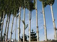白杨树图片一片树林图片