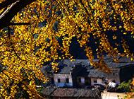 银杏树的金黄树叶图片
