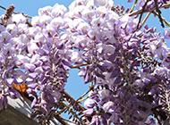 紫藤花图片唯美壮丽迷人