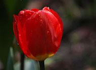 美丽郁金香鲜花摄影图片