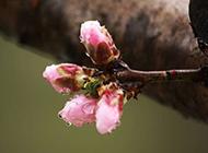 下雨天含苞待放的漂亮桃花图片