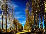 戈壁滩高大魁梧的白杨树图片
