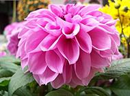 小小紫红花唯美植物特写图片