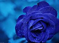 雨后娇艳欲滴的蓝色妖姬