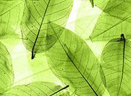 叶脉透明绿色背景图片素材