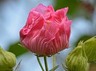 含苞待放的单瓣木芙蓉图片