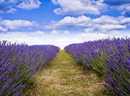 紫色薰衣草花海图片优美浪漫