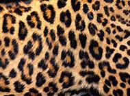 精美豹纹皮草ps背景图片