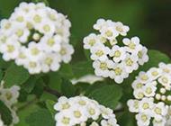 花团锦簇的绣球花图片