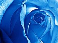 蓝色玫瑰花特写高清图片
