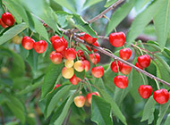 挂满枝头的樱桃图片