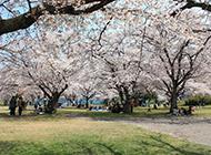 花团锦簇的樱花景观图片