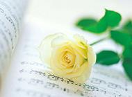 一枝黄玫瑰与音符唯美图片