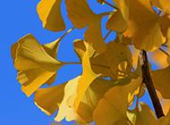 唯美银杏树叶自然清新风景图片壁纸