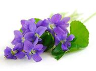 紫色花图片背景唯美清新