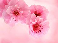美丽又迷人的桃花背景图片